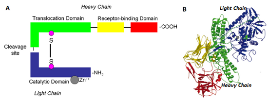 Botulinum Toxin Protein Molecule